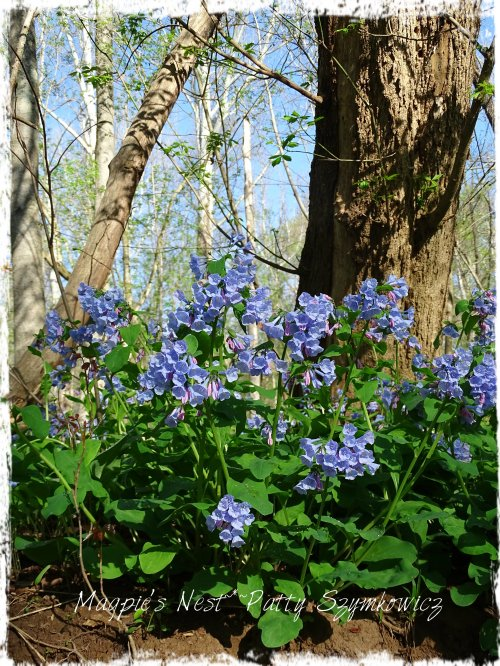 Magpie's Nest Bluebells on a bank