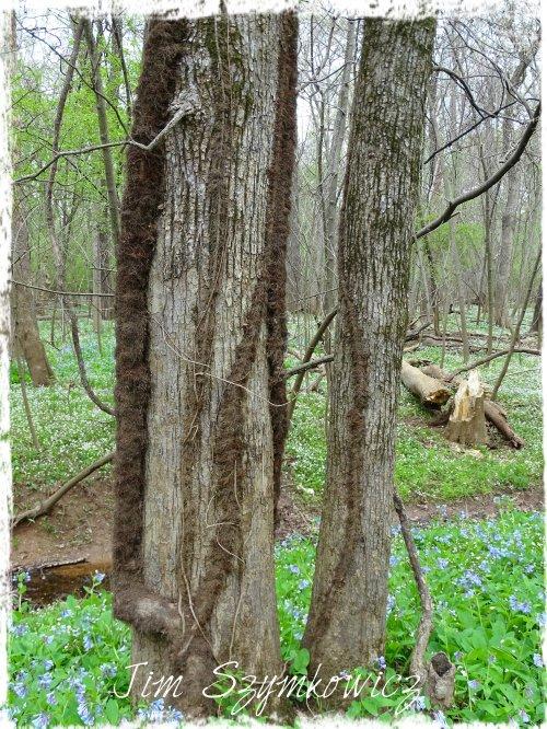 Magpie's Nest Fuzzy Poison Ivy Vines