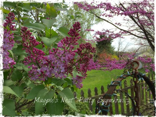 Magpie's Nest our lilacs