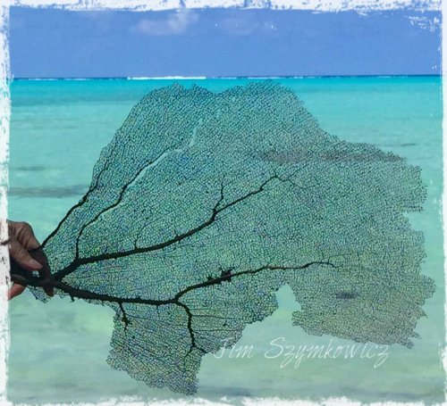 Magpie's Nest TCI sea fan