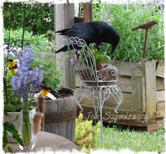 Magpie's Nest Mother's Day Crow Visit