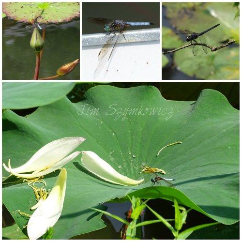 Magpie's Nest Dragonflies