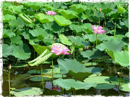 Magpie's Nest Lotus pond reflections
