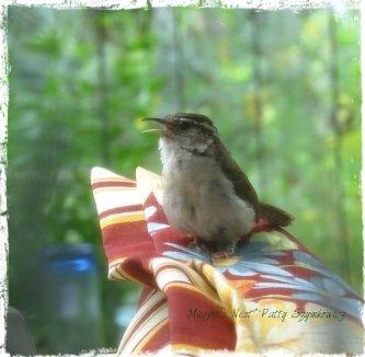 Magpie's Nest singing wren through lace curtain