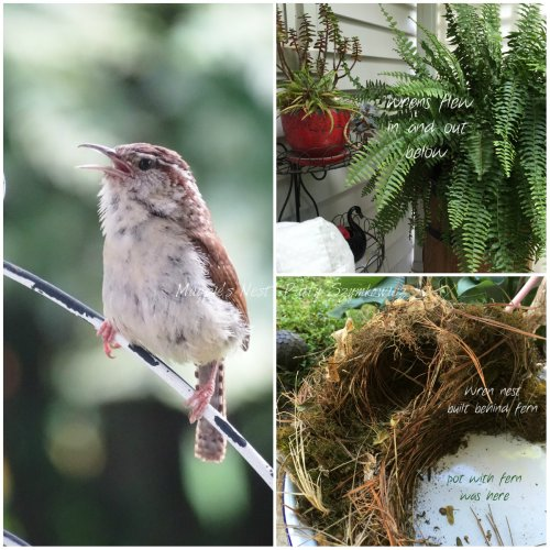 Magpie's Nest Wrens nested on backporch