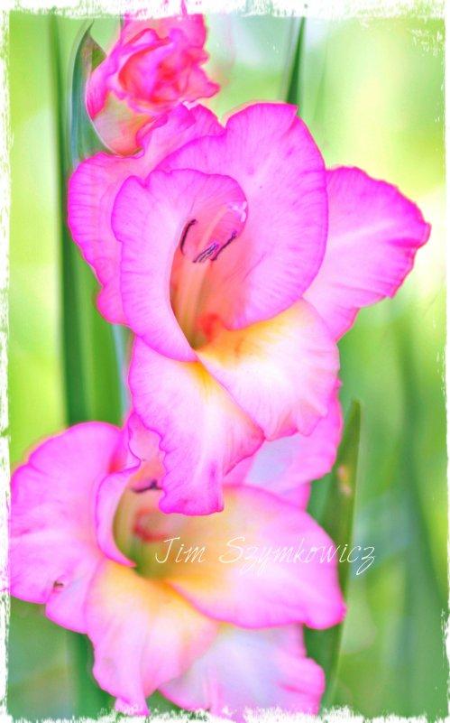 Magpie's Nest Jim Szymkowicz glorious gladiola