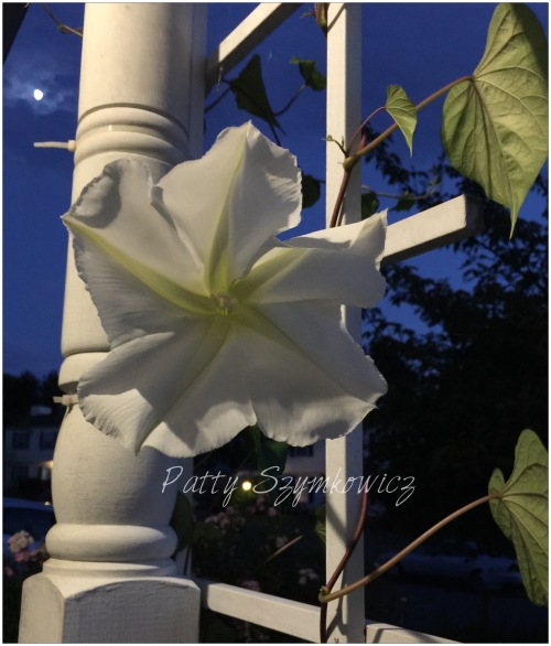 Magpie's Nest Patty Szymkowicz Moonflower on a moonlit night