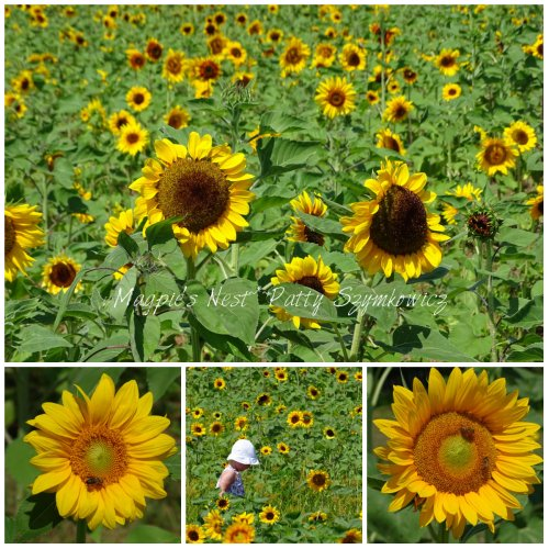 Magpie's Nest Sunflower field Burnside Farms