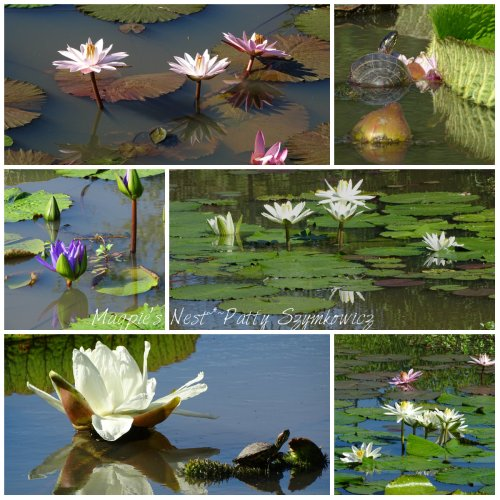 Magpie's Nest Waterlilies and Turtles