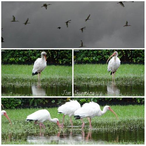 https://bitze.files.wordpress.com/2015/10/magpies-nest-jim-szymkowicz-white-ibis.jpg?w=500&h=500