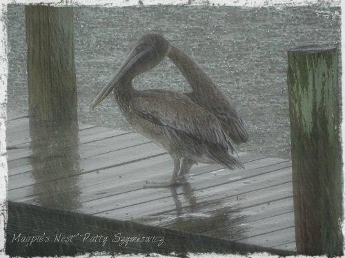 Magpie's Nest pelican in RAIN