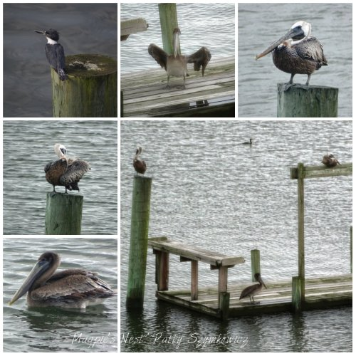 Ocracoke Pelicans and Kingfisher