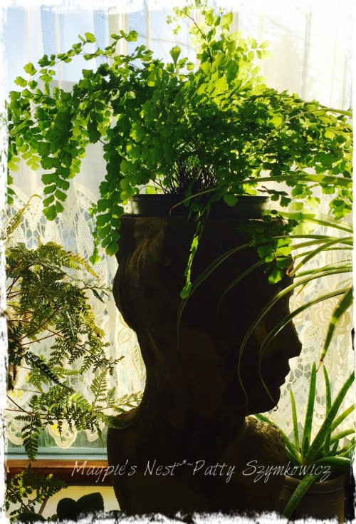 Magpie's Nest Maidenhair fern planter