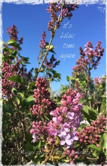 Lilacs starting to bloom