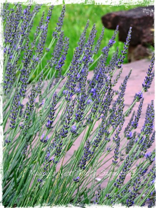 Magpie's Nest Lavender over red rock patio