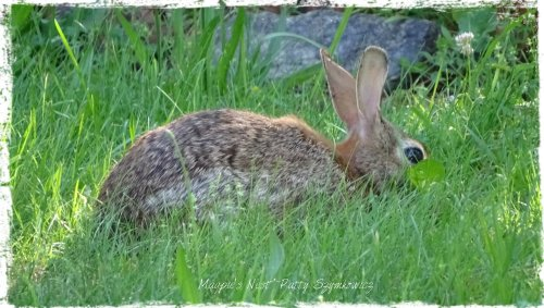 Magpie's Nest Resident Rabbit