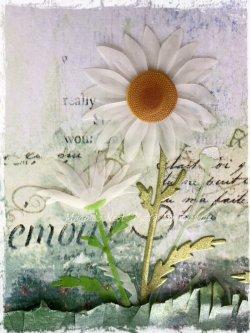 Magpie's Nest Daisy closeup