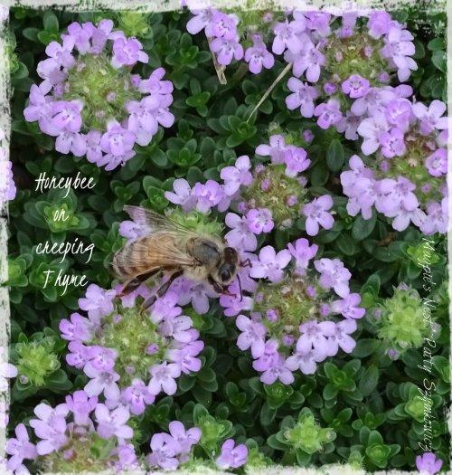 Magpie's Nest Honeybee on Thyme