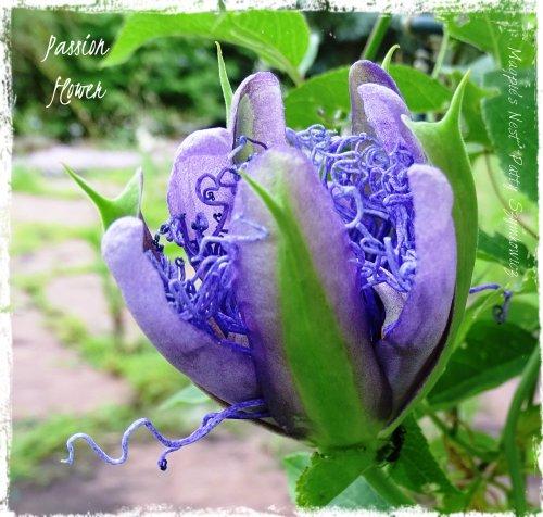 Magpie's Nest Patty Szymkowicz Passion Flower #1 25 July