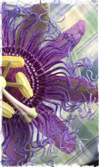 Magpie's Nest Patty Szymkowicz Passion flower frills