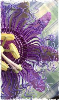 Magpie's Nest Patty Szymkowicz Passion flower frills
