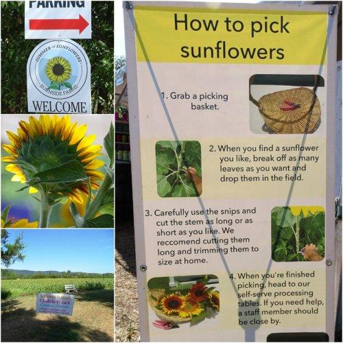 Magpie's Nest Burnside Farms Sunflowers