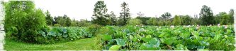 Magpie's Nest Kenilworth Aquatic Gardens August Panorama