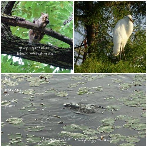 https://bitze.files.wordpress.com/2016/08/magpies-nest-kenilworth-aquatic-gardens-wildlife.jpg?w=500&h=500
