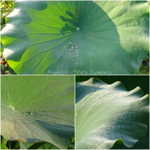 Magpie's Nest Morning dew on lotus leaves