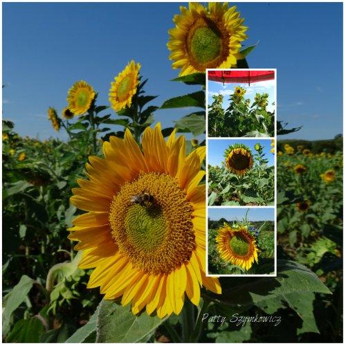 Magpie's Nest Patty Szymkowicz Morning Sunflowers