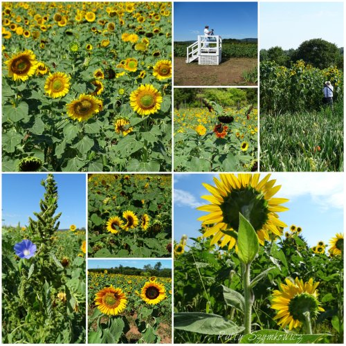 Magpie's Nest Patty Szymkowicz Sunflower Palooza