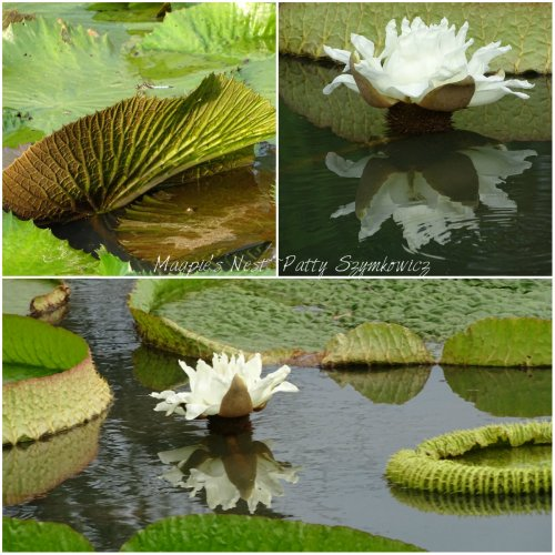 Magpie's Nest Patty Szymkowicz Victorian water lily in bloom