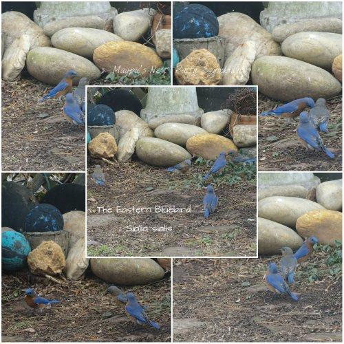 magpies-nest-patty-szymkowicz-eastern-bluebird