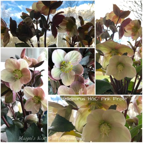 magpies-nest-patty-szymkowicz-lenten-rose